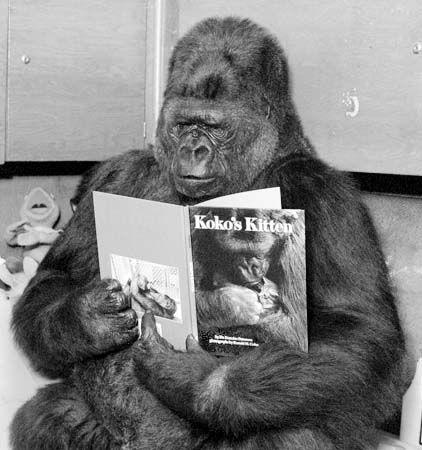 koko reading kokos kitten